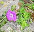 Geranium sanguineum in Aveyron (2).jpg