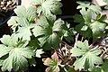 Geranium wlassovianum 3zz.jpg