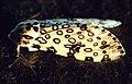 Giant leopard moth hypercompe scribonia 5.jpg