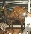 Giant ostrich.jpg