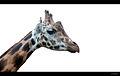 Giraffa camelopardalis (6042971184).jpg