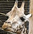 Giraffa camelopardalis - Giraffe - Girafe - Oasis Park - 08.jpg