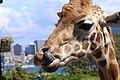 Giraffe (10154215705).jpg