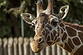 Giraffe (14640257045).jpg