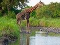 Giraffe (Giraffa camelopardalis) male at waterhole ... (50839044917).jpg