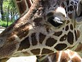 Giraffe at the Zoo (20844687).jpg