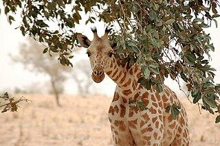 West African giraffe subspecies of mammal