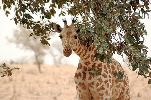 Giraffe koure niger 2006