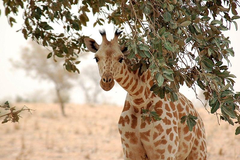 File:Giraffe koure niger 2006.jpg