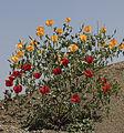 Glacium - Horned poppy 05.jpg
