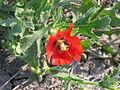 Glaucium corniculatum (flower).jpg