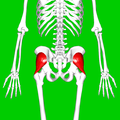 Gluteus minimus muscle07.png