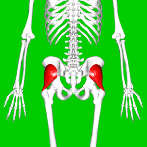 Gluteus minimus muscle - Gluteus minimus muscle (shown in red). Posterior view.