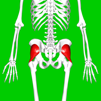 Gluteus minimus - Gluteus minimus muscle (shown in red). Posterior view.