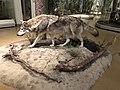 Goerlitz027 Wolf in der Dauerausstellung.jpg
