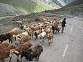 Going towards Lalusar Jheel, saw a shepherd.jpg