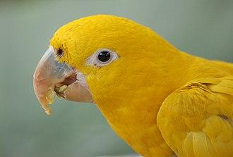 Golden parakeet - Image: Golden Conure Guaruba guarouba Eating 2550px
