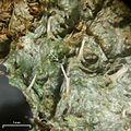 Gomphillus americanus 122758.jpg