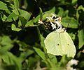 Gonepteryx aspasia (on Ligustrum tschonoskii s3).JPG