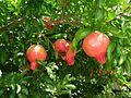 Granatapfelbaum.jpg