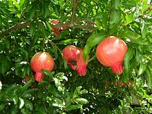 pomegranate simple english wikipedia the free encyclopedia. Black Bedroom Furniture Sets. Home Design Ideas