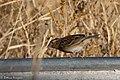 Grasshopper Sparrow (fall plumage) Curly Horse Ranch Rd Sonoita AZ 2017-12-16 09-28-48-2 (39087911042).jpg