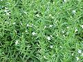 Gratiola officinalis1.jpg