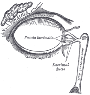 Lacrimal gland - Lacrimal apparatus of the right eye. The lacrimal gland is to the upper left. The right side of the picture is towards the nose.