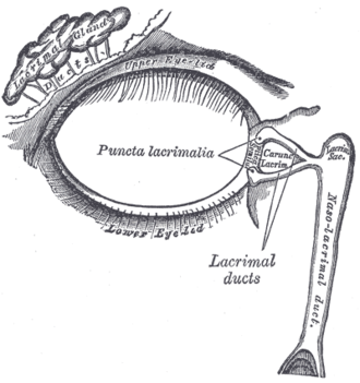 Lacrimal apparatus - The lacrimal apparatus. Right side.