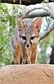 Gray Fox (49659829487).jpg