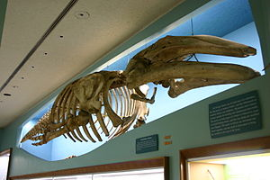 Gray whale - Skeleton