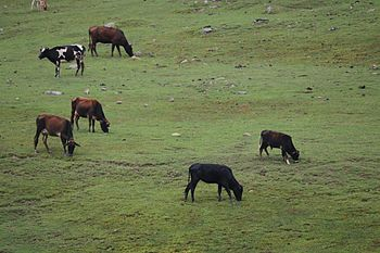 Grazing Cows.jpg