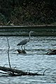 Great Blue Heron (Ardea herodias) - Kitchener, Ontario 02.jpg