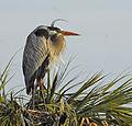 Great Blue Heron on Nest at Viera Wetlands - Flickr - Andrea Westmoreland.jpg