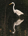 Great Egret (Casmerodius albus)- Non-breeding plumage in Kolkata W IMG 4341.jpg