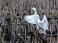 Great Egrets (8747211687).jpg