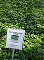 Great Swamp Greenhouse photos Pachysandra Spurge.JPG