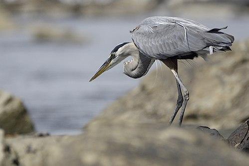 Great blue heron.BDT8365.jpg