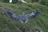 Great blue heron in Loxahatchee.JPG