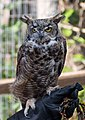 Great horned owl at ACES (11792).jpg
