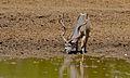 Greater Kudu (Tragelaphus strepsiceros) (6611638451).jpg
