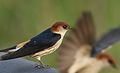 Greater Striped Swallow, Hirundo cucullata (syn. Cecropis cucullata), at Marievale Nature Reserve, Gauteng, South Africa (30419724071).jpg