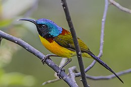 Green-tailed Sunbird Sikkim India.jpg