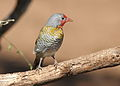 Green-winged Pytilia, Pytilia melba at Mapungubwe National Park, Limpopo, South Africa (male and female in set) (17409768014).jpg
