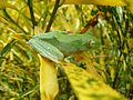 Green Tree Frog Kerala.jpg