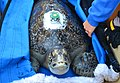 Green sea turtle, Comber, loved this jacket (30608718111).jpg