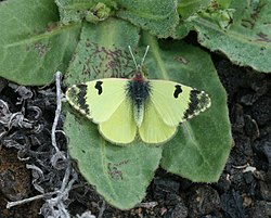 Greenish Black-tip (Euchloe charlonia) 2.jpg