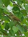 Greenish Warbler (Phylloscopus trochiloides) (20337735174).jpg