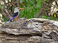 Grey-headed Kingfisher (Halcyon leucocephala) (11929836715).jpg