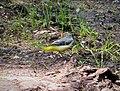 Grey Wagtail. Motacilla cinerea (24795768697).jpg